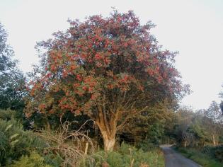 Rowan_tree_20081002b.jpg